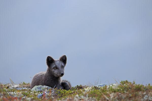 Polarfuchs,Eisfuchs,Arctic Foxes,Alopex lagopus,Vulpex lagopus 0076