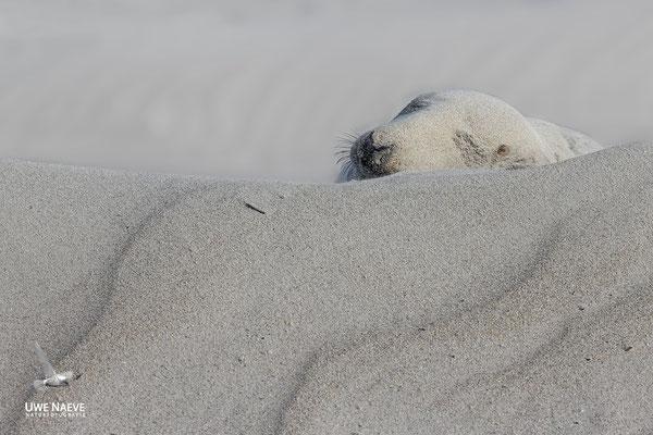 Kegelrobbe,Grey Seal,Halichoerus grypus 0184