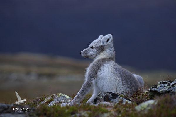 Polarfuchs,Eisfuchs,Arctic Foxes,Alopex lagopus,Vulpex lagopus 0066