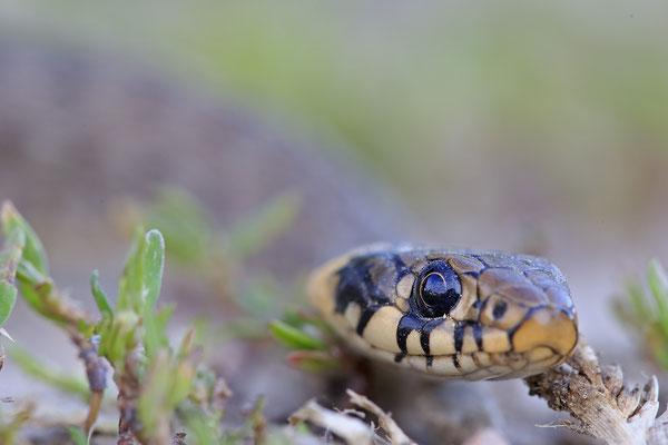 Ringelnatter, Natrix natrix, Grass Snake 0003