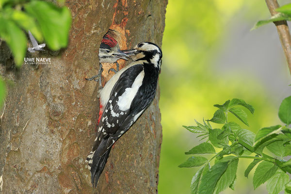 Buntspecht,Great Spotted Woodpecker,Dendrocopos mayor 0056