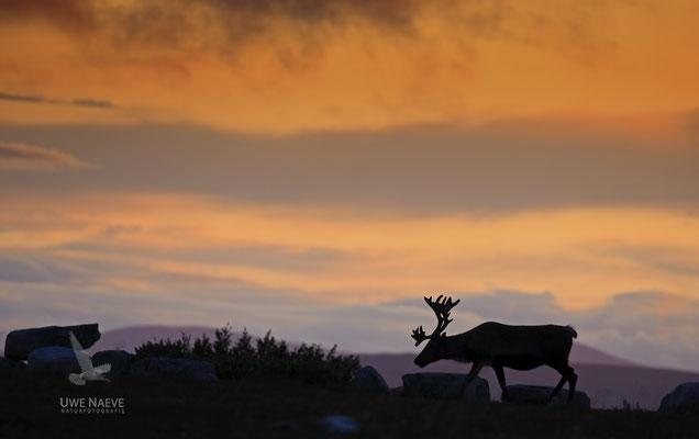 Ren Rentier Rangifer tarandus Reindeer 0099