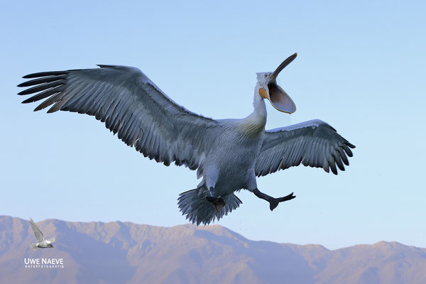 Krauskopfpelikan,Dalmatien pelican,pelecanus crispus 0062
