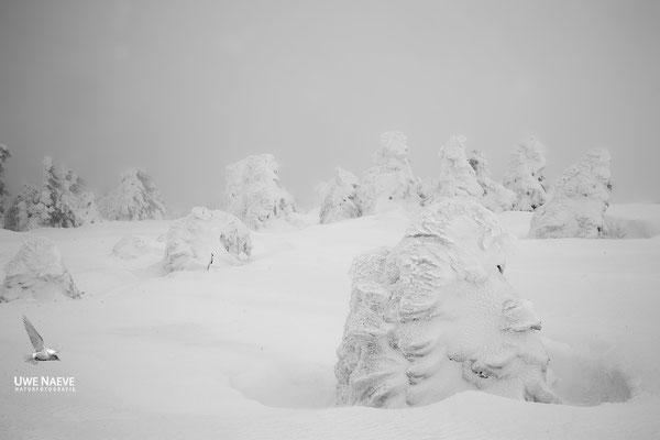 Harz, Brocken,Fichtenwald im Winter 8731