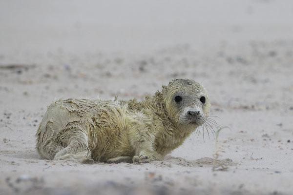 Kegelrobbe,Grey Seal,Halichoerus grypus 0134