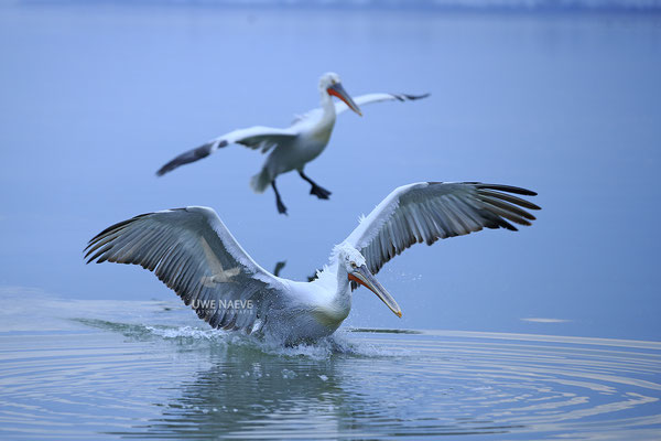Krauskopfpelikan,Dalmatien pelican,pelecanus crispus 0015