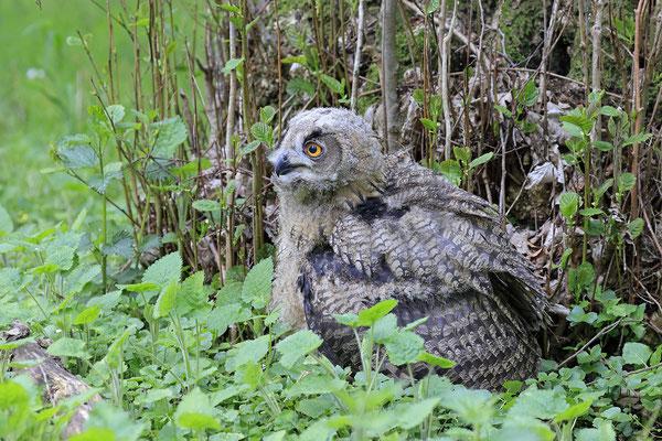 Uhu,Bubo bubo,Eagle Owl 0072