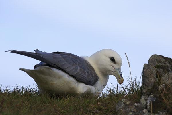 Eissturmvogel Fulmaris glacialis Northern Fulmar 0009