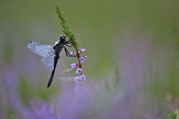Schwarze Heidelibelle Maennchen Sympetrum danae 0020
