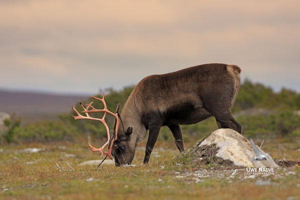 Ren Rentier Rangifer tarandus Reindeer 0105