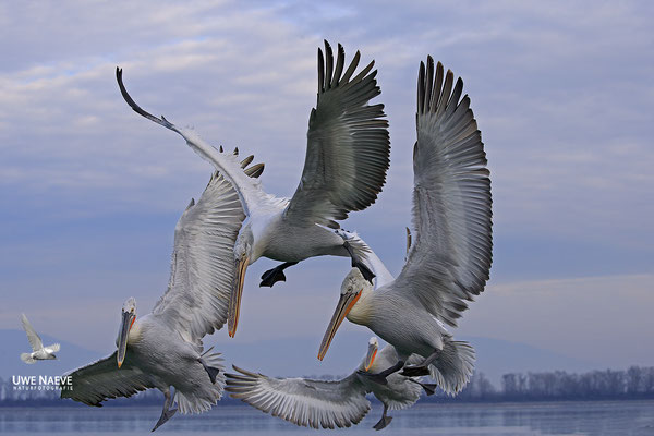 Krauskopfpelikan,Dalmatien pelican,pelecanus crispus 0064