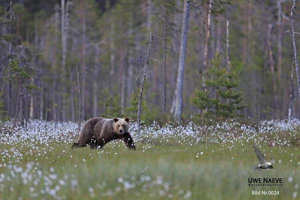 Braunbaer Ursus arctos brown bear 0024