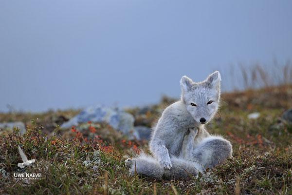 Polarfuchs,Eisfuchs,Arctic Foxes,Alopex lagopus,Vulpex lagopus 0071