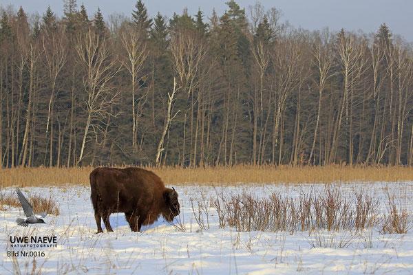 Wisentbulle,Bison bonasus,European Bison 0016