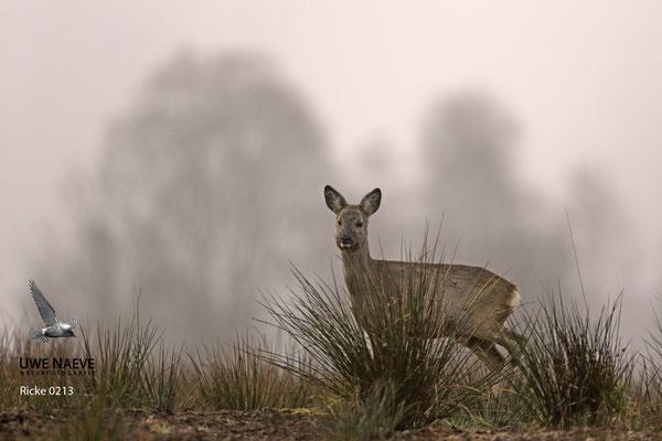 Reh,Ricke,Roe Deer doe,Capreolus capreolus 0213