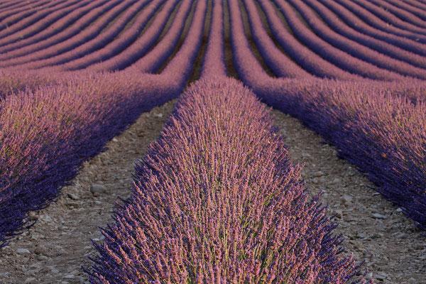 Lavendel,Lavender,Lavendula angustifolia 0020