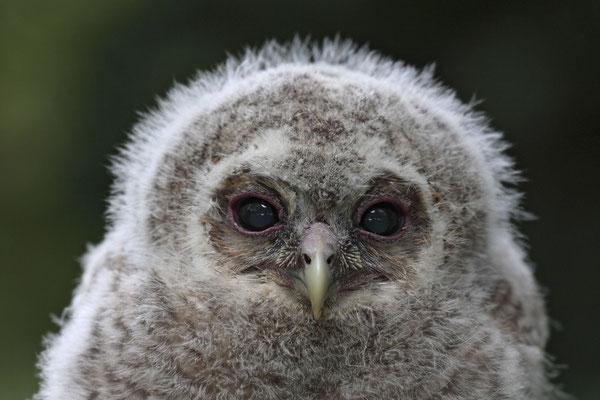 Waldkauz,Strix aluco,Tawny Owl 0005