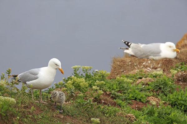 Silbermoewe Larus argentatus herring gull 0007