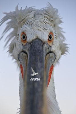 Krauskopfpelikan,Dalmatien pelican,pelecanus crispus 0058
