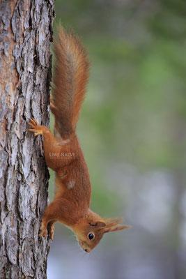 Eichhoernchen,Sciurus vulgaris,Red Squirrel 0013