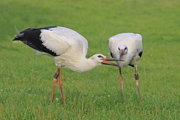 Weissstorch,Weisstorch,White Stork,Ciconia ciconia 0134