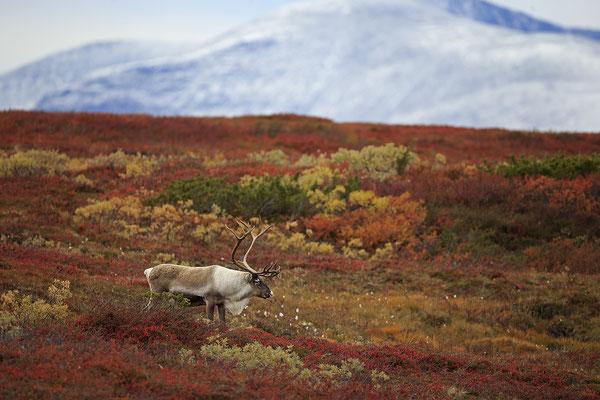 Ren Rentier Rangifer tarandus Reindeer 0124