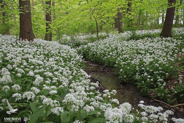 Bärlauch,Allium ursinum 0035