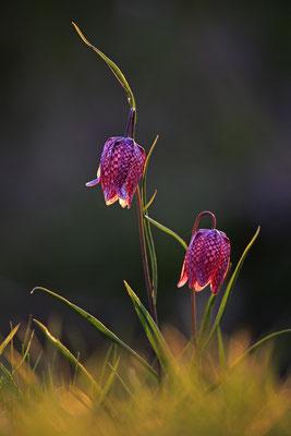 Schachbrettblume,Kiebitzei,Fritillaria meleagris,Fritillary 0038