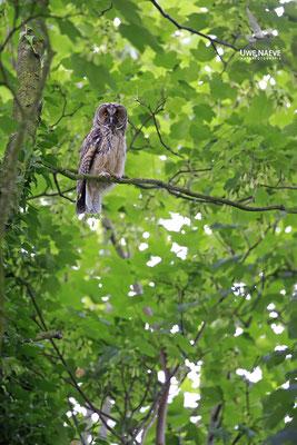 Waldohreule,Asio otus,Long-eared Owl 0041