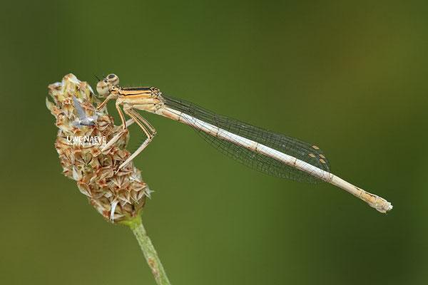 Weisse Federlibelle Weibchen Platycnemis lattipes 0008