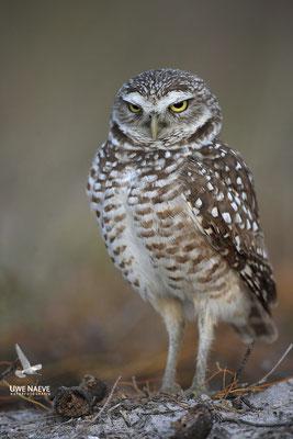 Kaninchenkauz, Burrowing Owl,Speotyto cuniculuria 0022