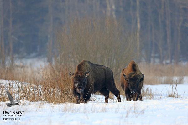 Wisentbulle,Bison bonasus,European Bison 0011