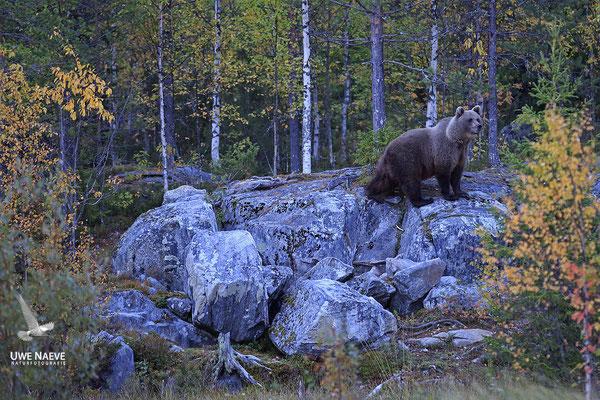 Braunbaer Ursus arctos brown bear 0068