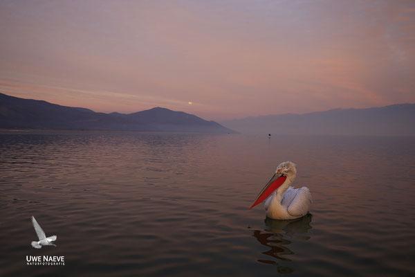 Krauskopfpelikan,Dalmatien pelican,pelecanus crispus 0080