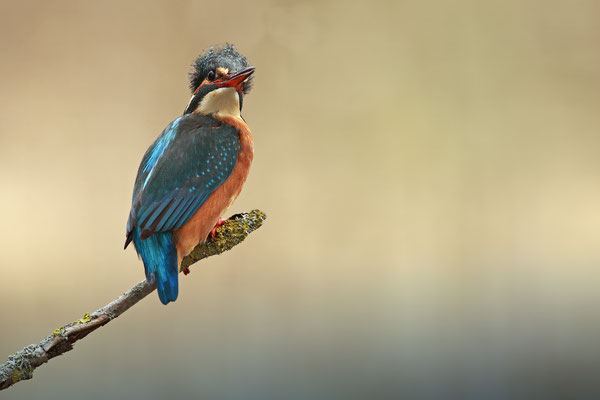 Eisvogel,Alcedo atthis,River King fisher 0044