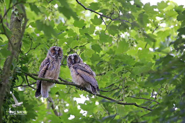Waldohreule,Asio otus,Long-eared Owl 0034