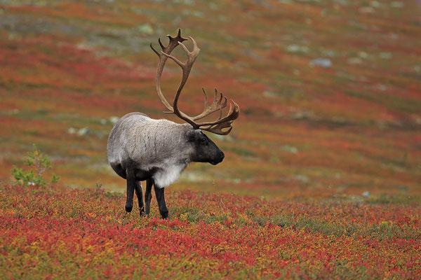 Ren Rentier Rangifer tarandus Reindeer 0130