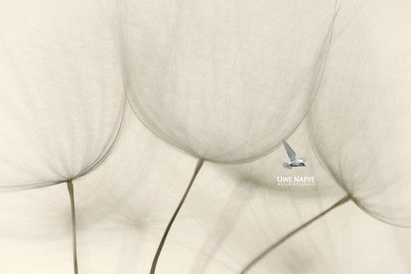 Fruchtstand des Wiesenbocksbarts Tragopogon pratensis 0008