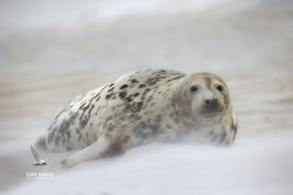 Kegelrobbe,Grey Seal,Halichoerus grypus 0194
