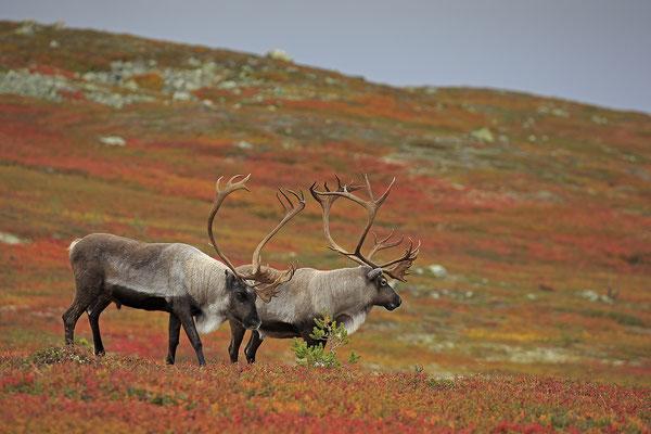 Ren Rentier Rangifer tarandus Reindeer 0126
