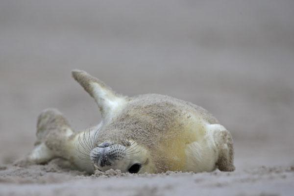 Kegelrobbe,Grey Seal,Halichoerus grypus 0154