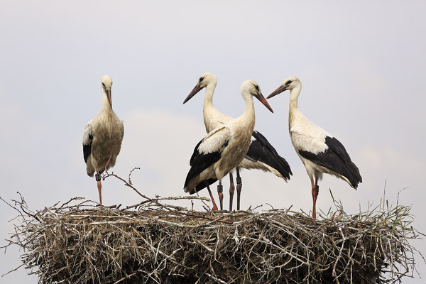 Weissstorch,White Stork,Ciconia ciconia 0091