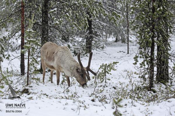 Ren Rentier Rangifer tarandus Reindeer 0066