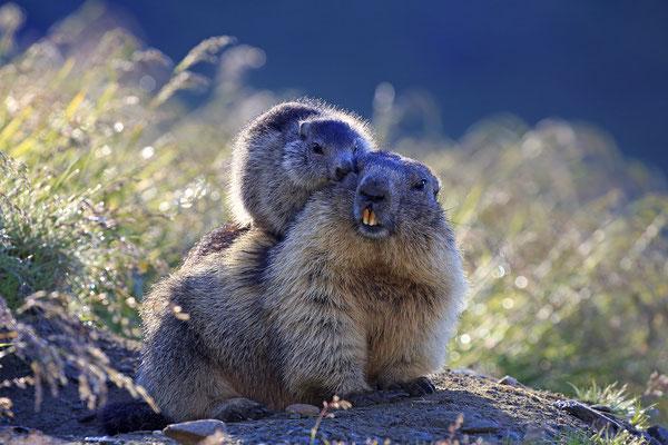 Alpenmurmeltier,Marmota,Marmot 0086
