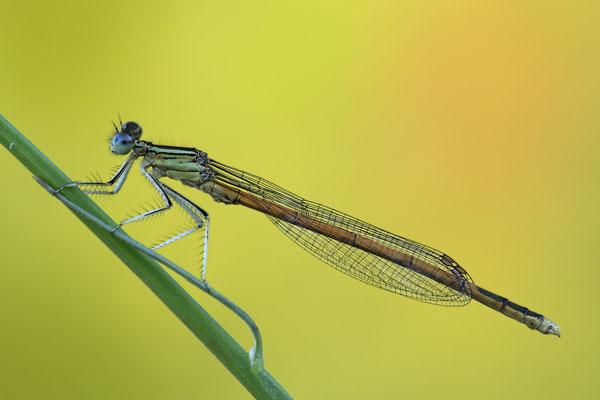 Rote Federlibelle Maennchen Platycnemis acutipennis 0018.