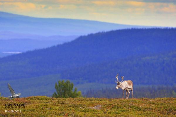 Ren Rentier Rangifer tarandus Reindeer 0012