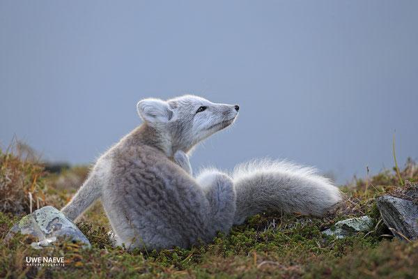 Polarfuchs,Eisfuchs,Arctic Foxes,Alopex lagopus,Vulpex lagopus 0069
