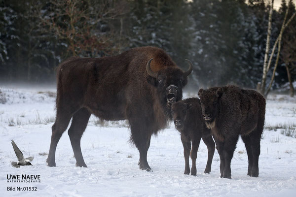 Wisent,Kuh und Kalb,Bison bonasus,European Bison Cow and Calf 01532