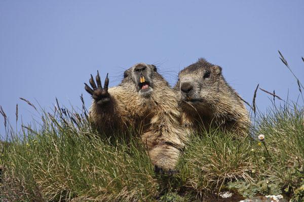 Alpenmurmeltier,Marmota,Marmot 0035