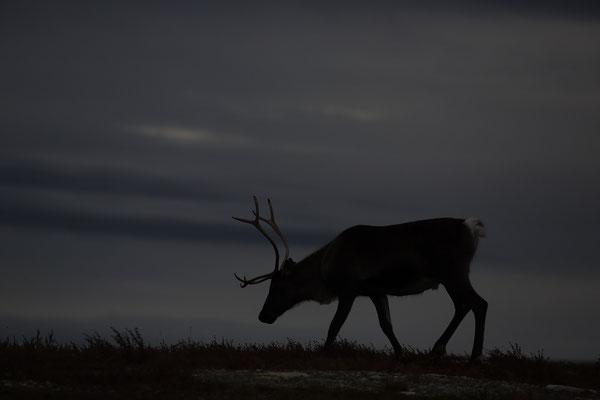 Ren Rentier Rangifer tarandus Reindeer 0134